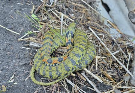 legless: A close up of the snake (Rhabdophis tigrina).