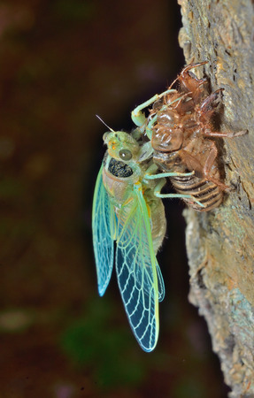 hexapod: A close up of the new-born cicada on its skin. Stock Photo
