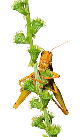 feelers: A close up of the grasshopper on stem. Isolated on white. Stock Photo