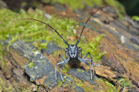 A close up of the Capricorn beetle on old log. Stock Photo