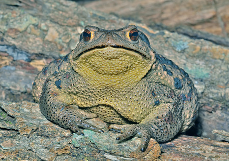bufo toad: A close up of the toad (Bufo gargarizans). Stock Photo