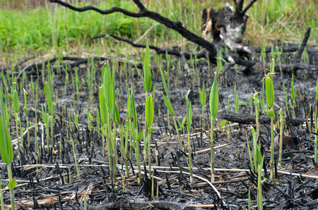 plantlet: The close-up of young plantlets after fire. Stock Photo