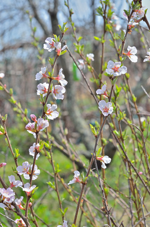cherrytree: A close up of the blooming branch of a cherry-tree in orchard.