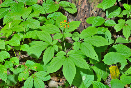 A close up of the most famous medicinal plant ginseng (Panax ginseng).