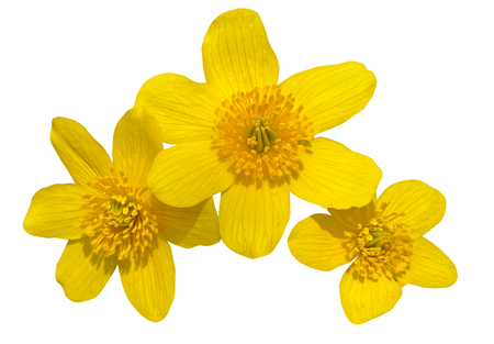 palustris: A close up of the flowers of kingcup (Caltha palustris). Isolated on white.