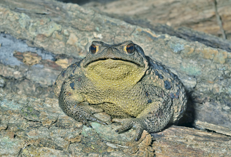 anura: A close up of the toad (Bufo gargarizans). Stock Photo