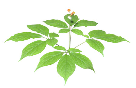 fareast: A close up of the most famous medicinal plant ginseng (Panax ginseng). Isolated on white.