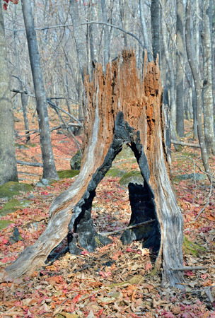 large tree: A close up of the very old big stump.