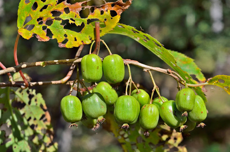fareast: A close up of the berries on Far-East (Actinidia arguta) (hardy kiwi). Stock Photo