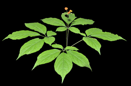 fareast: A close up of the most famous medicinal plant ginseng (Panax ginseng). Isolated on black. Stock Photo