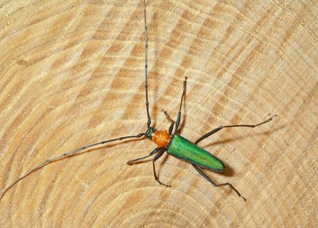 A close up of the Capricorn beetle (Chloridolum sieversi) on cut of three.