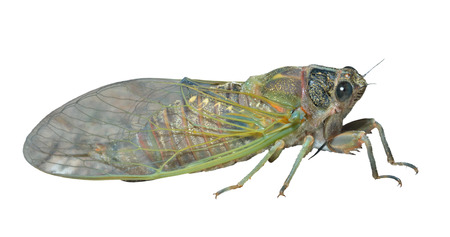 hexapod: A close up of the cicada. Isolated on white.