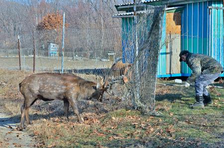 d�livrance: Le sauvetage de cerf tachet� mailles dans le filet sur jardin. Banque d'images