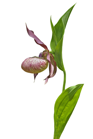 ladys: A close up of the flower of wild orchid ladys slipper (Cypripedium macranthon). Isolated on white.