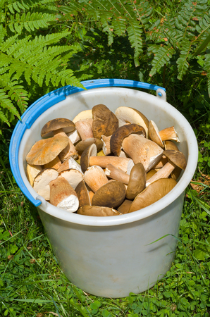 brake fern: A bucket with mushrooms (Cep (Boletus edulis) among a grass.