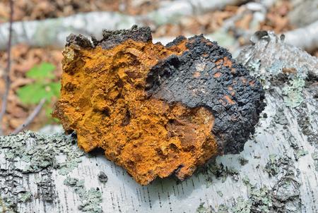 A close up of the medicinal birch mushroom (Inonotus obliquus). Stock Photo - 49962340