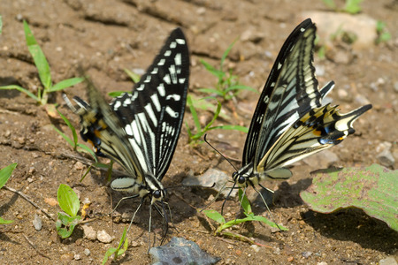 swallowtail: A close up of the butterflies swallowtail (Papilio xuthus). Stock Photo