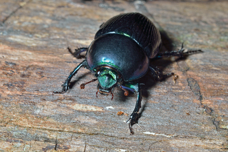 coleopter: A close up of the dung-beetle on tree. Stock Photo