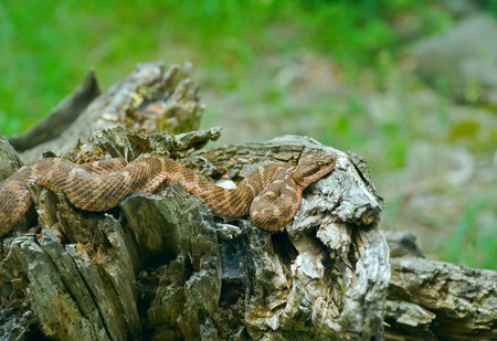 hiss: A close up of the venomous snake (Agkistrodon saxatilis) on stump.