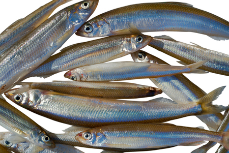 Catch on winter fishing. A close up of the fishes smelt. Isolated on white.