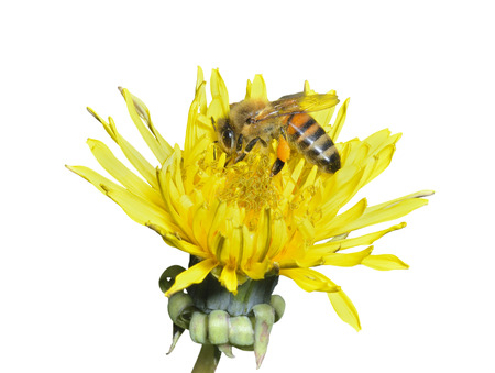 hexapod: A close up of the bee on dandelion. Isolated on white.