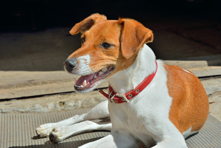 pure bred: A close up of the Parson Russell terrier. Stock Photo