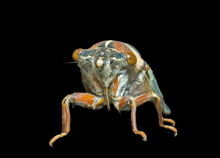 crick: A close up of the cicada (Tibicen bihamatus). Isolated on black. Stock Photo