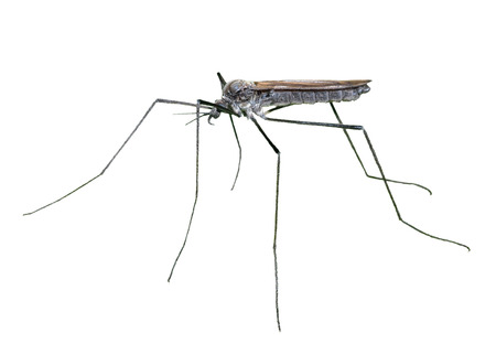 diptera: A close up of the insect daddy-long-legs (Tipulidae). Isolated on white.
