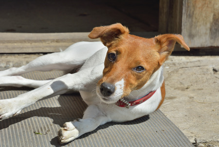 pure blooded: A close up of the Parson Russell terrier. Stock Photo