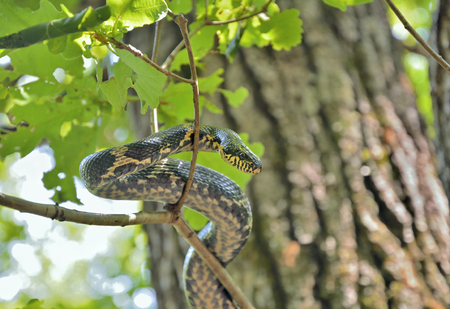 legless: A close up of the snake (Elaphe schrenckii) on tree.