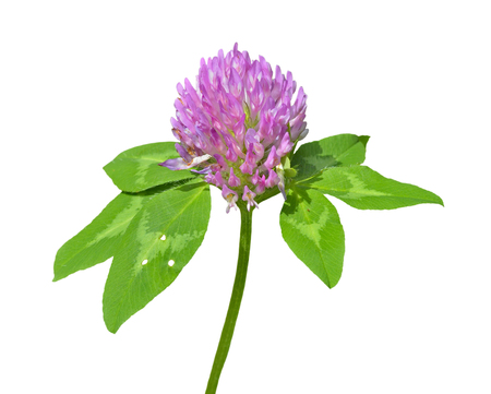 A close up of the blooming medicinal herb red clover. Isolated on white.