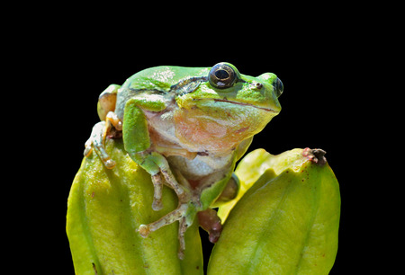 hyla: A close up of the hyla (tree toad) (Hyla Japonica). Isolated on black. Stock Photo