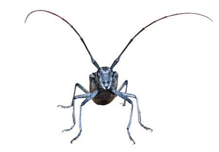 A close up of the Capricorn beetle en face. Isolated on white. Stock Photo