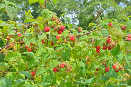 A close up of the raspberry-bush with beries. Stock Photo