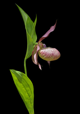 lady's slipper: A close up of the flower of wild orchid ladys slipper (Cypripedium macranthon). Isolated on black.