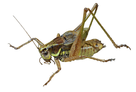 feelers: A close up of the grasshopper (Locust). Isolated on white.