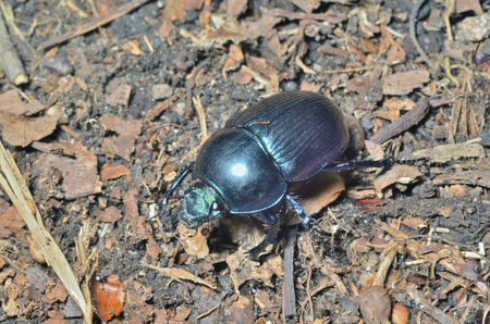 coleopter: A close up of the dung-beetle.