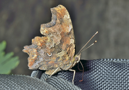 hexapod: A close up of the butterfly (Polygonia C-album).
