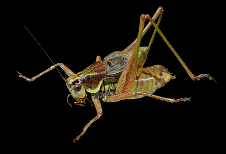 feelers: A close up of the grasshopper (Locust). Isolated on black.