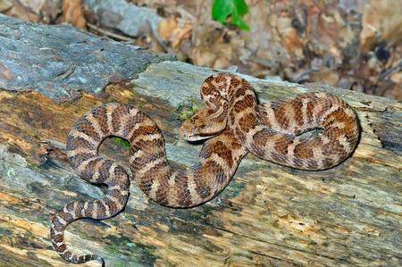 legless: A close up of the venomous snake (Agkistrodon saxatilis) on dry tree. Stock Photo