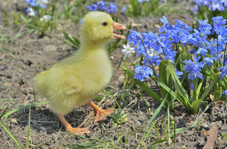 A close up of the very small gosling.