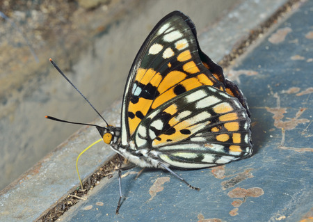 A close up of the butterfly (Sephisa dichroa princeps).