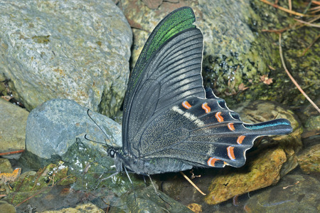 hexapod: A close up of the drinking butterfly Maack�s swallowtail (Papilio maackii).