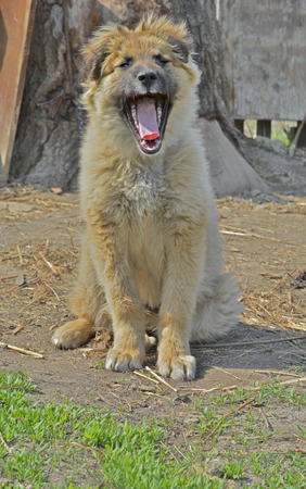 cur: A close up of the young yellow yawning dog. Stock Photo