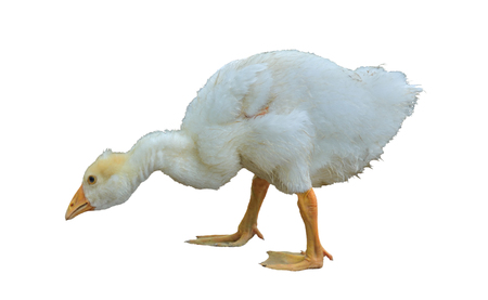A close up of the young white gosling. Isolated on white.
