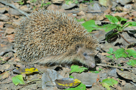 A close up of the hedgehog. Stock Photo