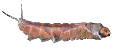 grub: A close up of the caterpillar (Cerura erminea). Isolated on white.