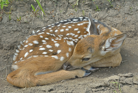 sika deer: A close up of the young sika deer (Cervus Nippon). Stock Photo