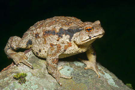 A close up of the toad (Bufo gargarizans). Stock Photo