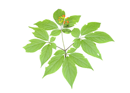 fareast: A close up of the medicinal plant ginseng (Panax ginseng). Isolated on white.